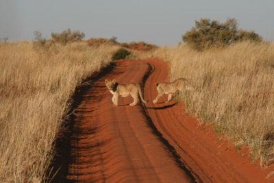 kgalagadi transfrontier park lions