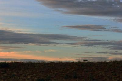 kgalagadi transfrontier park gemsbok in the evening