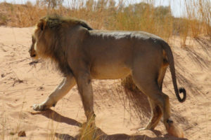 Figure 4 Curly, a dominant male lion that patrols the !Xaus Lodge area