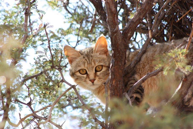 kgalagadi african wild cat