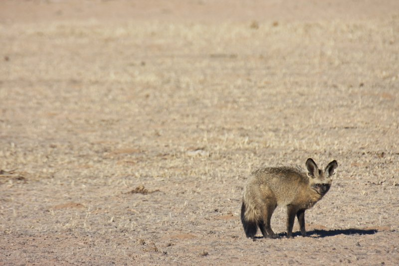 kgalagadi bat eared fox
