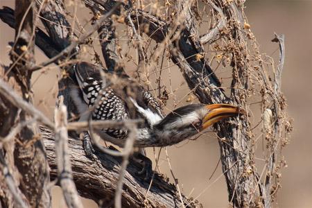 kgalagadi bird