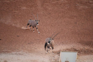 Figure 3 Oryx hurry to the water in the evening to get their drinks order in, ahead of the arrival of the thirsty Eland