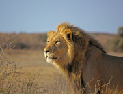 Xaus lodge kgalagadi lion