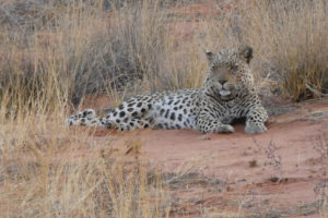 Figure 1  Urinanib, a male leopard, on a dune near !Xaus Lodge