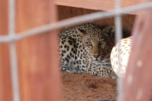 Figure 2 A female leopard that roams with Urinanib, hiding under a deck at !Xaus Lodge