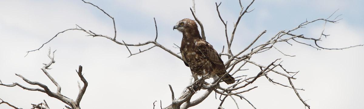 Kgalagadi Eagle