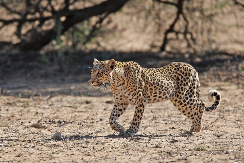 kgalagadi leopard