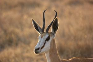 Kgalagadi Transfrontier Park Wildlife